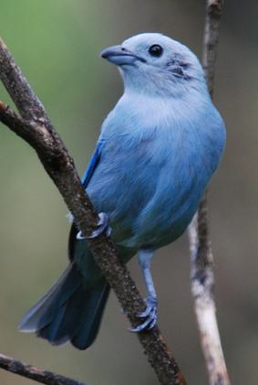 Le Tangara bleu