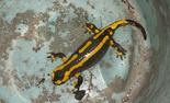 • Première salamandre !