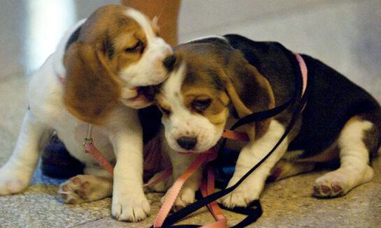 Deux chiots Beagle