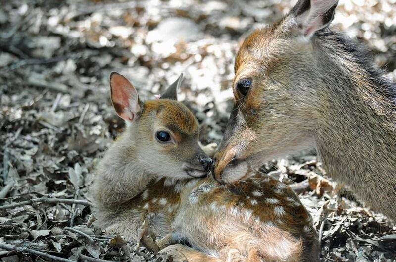 moment de tendresse entre une maman cerf et son petit
