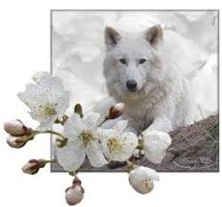 j'adore les loups