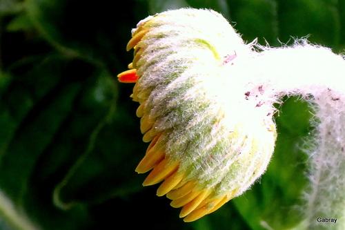 Mon gerbera fleurit!
