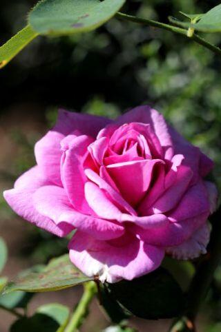 Les Roses de Warren : Mauve Kiss