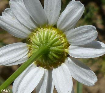 Matricaria chamomilla  -  matricaire camomille
