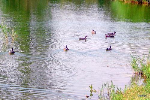 Millas (66) : les lacs, les canards et les oies