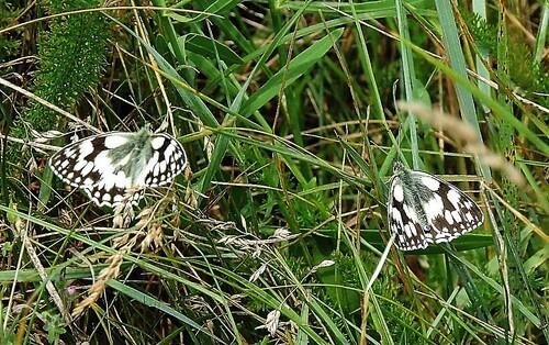 Papillons demi-deuil