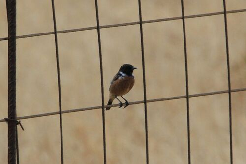 Tarier Pâtre (Whinchat)