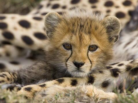 Résultat d'images pour guépard Savanna et max le chiot