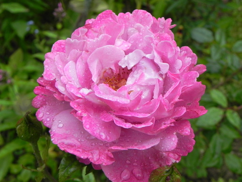 Rose  Muriel Robin
