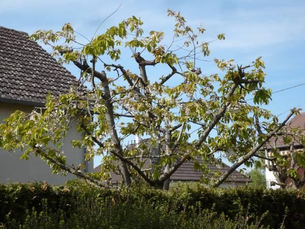 Cerisier voisin 25-04-10