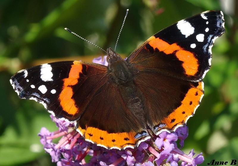 Papillon ou billet doux plié cherchant l'adresse d'une fleur (J.Renard)