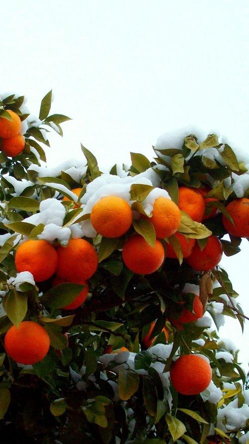 Oranges caramélisées.