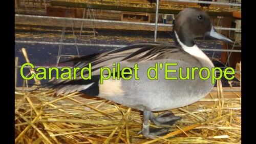 LE PILET D'EUROPE