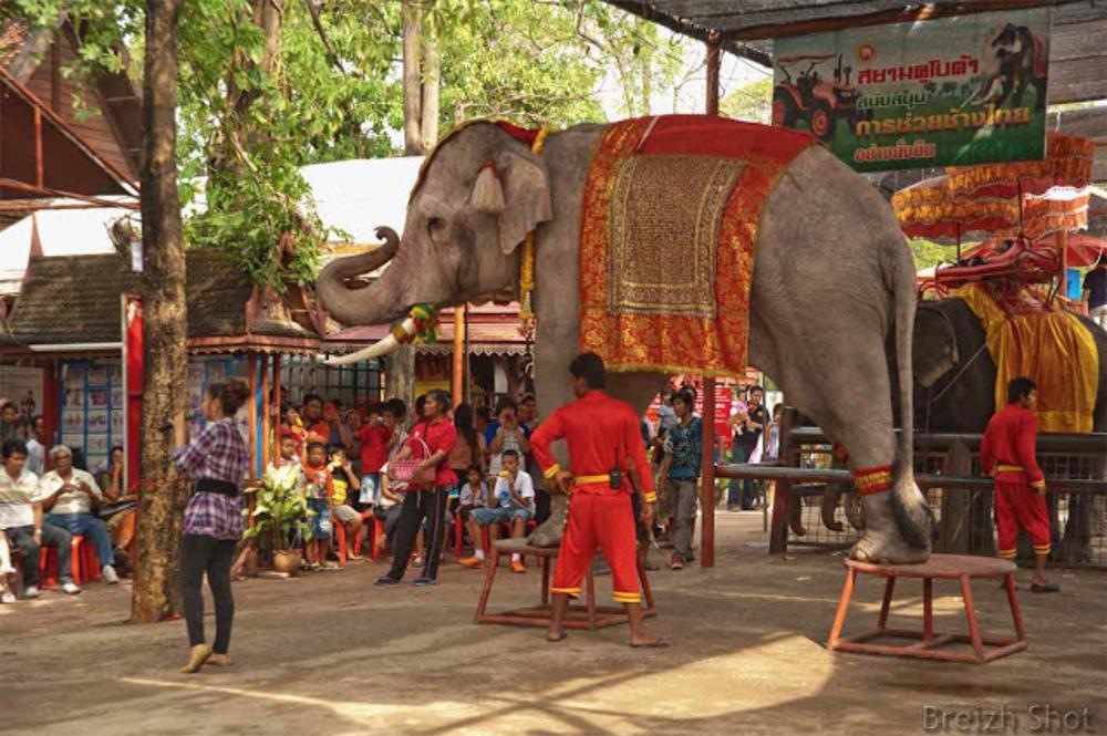 Eléphant monté sur un escabeau faisant un pont