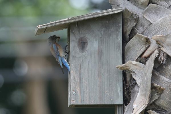 Western Bluebird - Colorado Lagoon Park