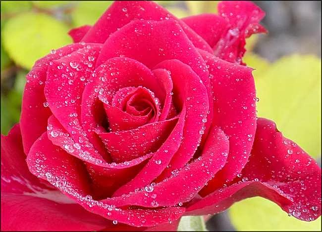 L'imperméable rose