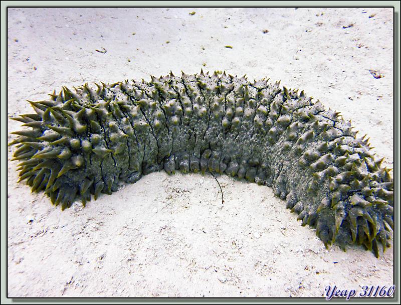 Plongée bouteille : Holothurie ananas - Bora Bora - Polynésie française