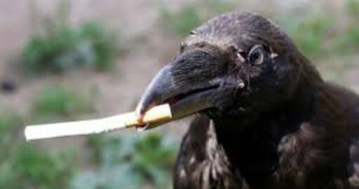Des corbeaux pour ramasser les mégots de cigarettes dans nos communes