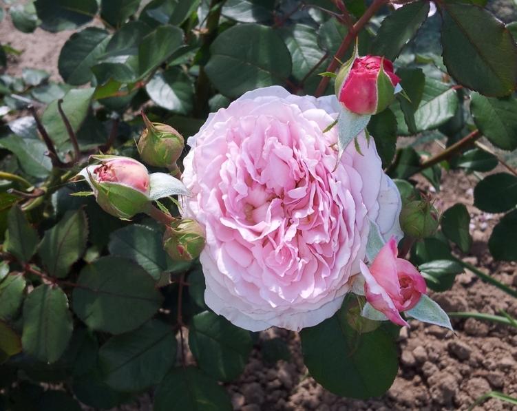 Mon rosier James Galway