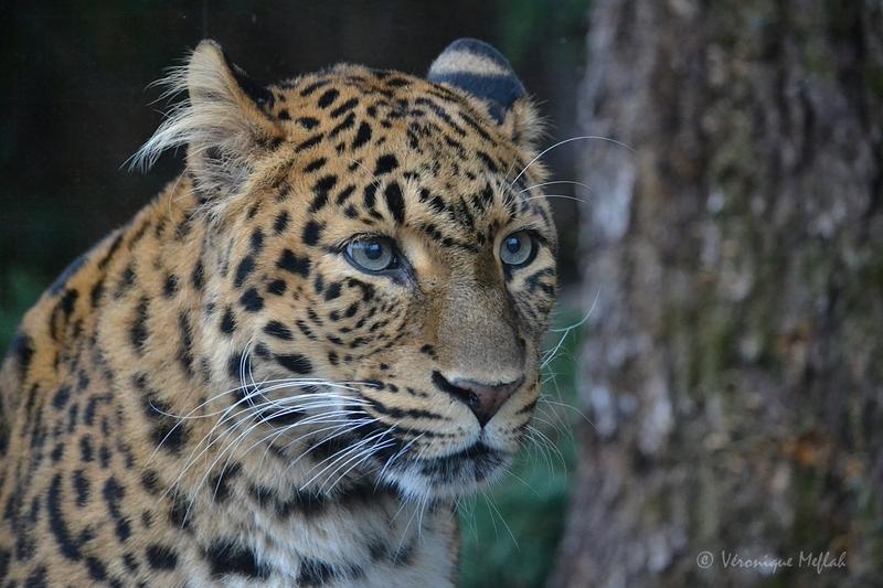 La Ménagerie, le zoo du jardin des Plantes : Leïla et Tao, Panthères de Chine