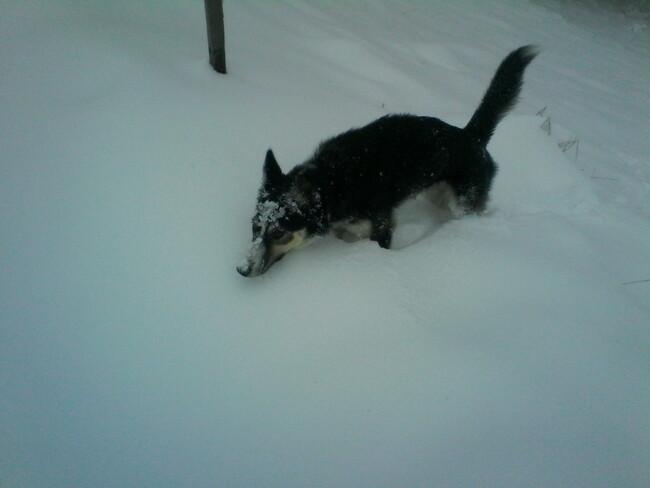 Premières neiges.... Episode I... La petite moute dans le champ de neige...