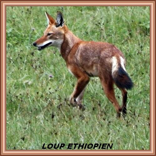 LOUP D'ÉTHIOPIE