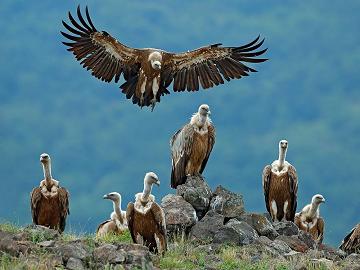 Le bal des vautours ...