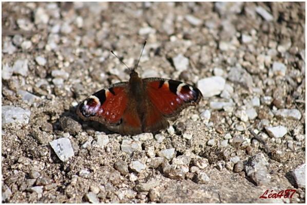 Papillons-2916-paon-du-jour.jpg