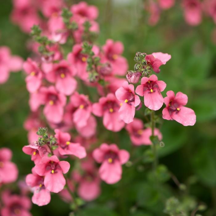 plante vivace 005 - jardinnature