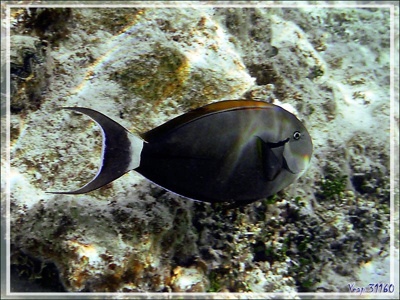 Chirurgien à marque noire ou à épaulette, Epaulette surgeonfish (Acanthurus nigricauda) - Lagon de la Pension Kuriri - Maupiti - Polynésie française