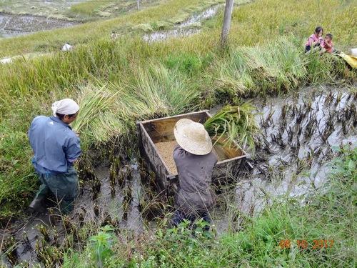récolte du riz dans les villages; suite;