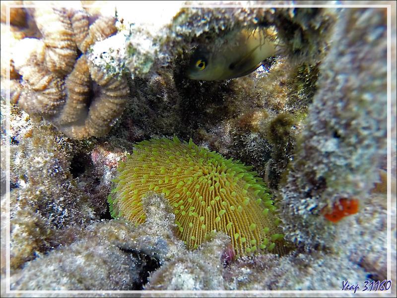 Corail-champignon avec ses tentacules vert fluo, Mushroom coral - Moofushi - Atoll d'Ari - Maldives
