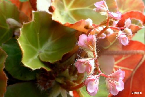 Dans un pot mon bégonia est en fleur