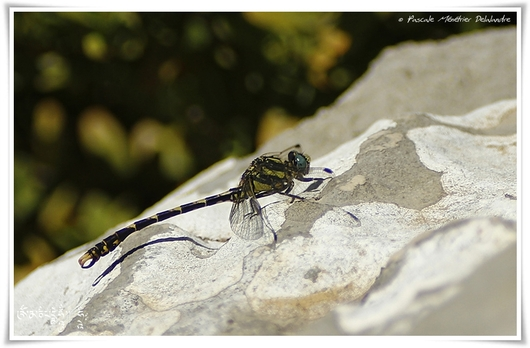Onychogomphe à crochets ♂ (Onychogomphus uncatus)