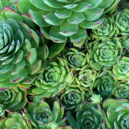 Sempervivum Tectorum ou Joubarbe des toits en terre