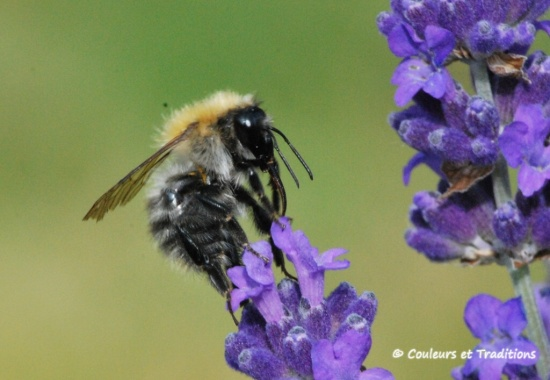 Concerto pour lavande et abeille