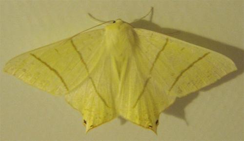La Phalène du Sureau - Ourapteryx sambucaria