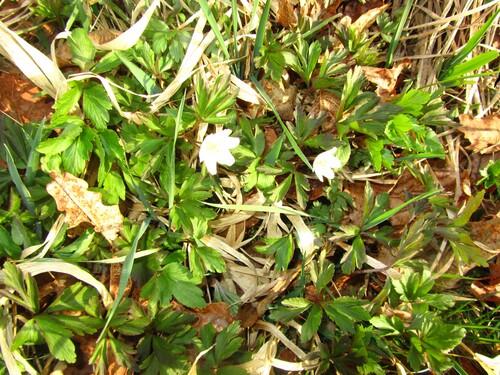 Anemone nemorosa - Anémone des bois ou Anémone sylvie