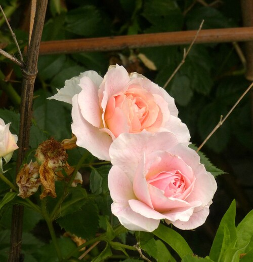les roses 2018  4
