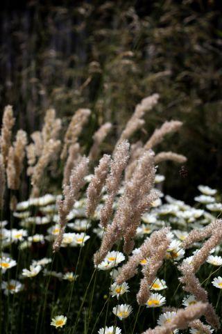Des compagnes pour mes roses : Melica ciliata