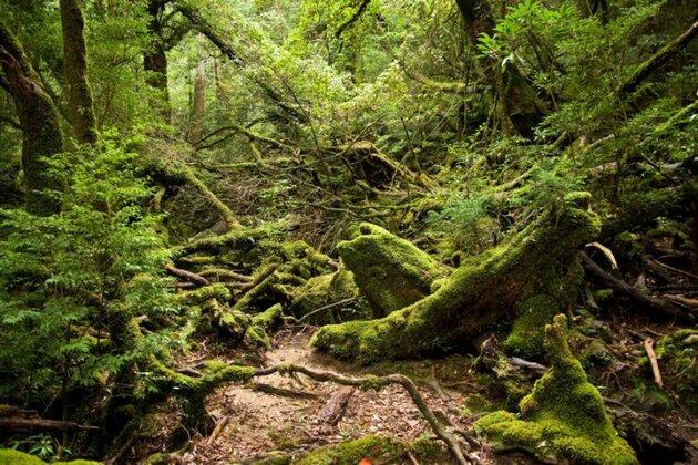 La forêt de Mononoké sur l'île de Yakushima au Japon