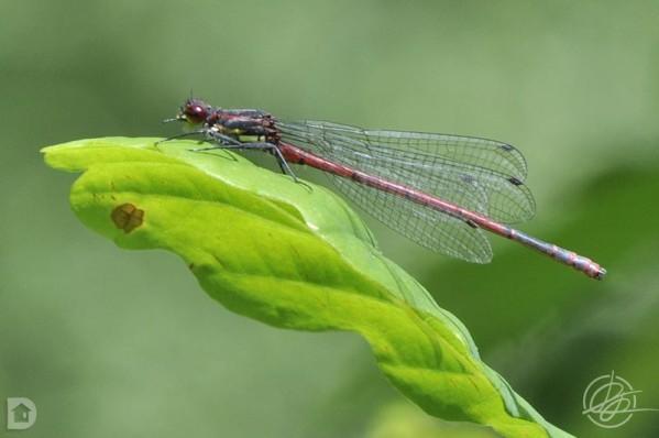 0091 Phyrrhosoma nymphula