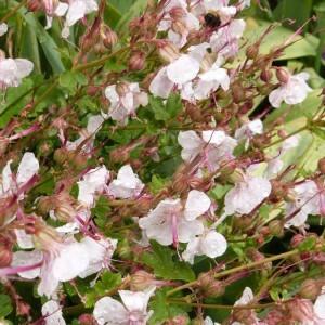 massif-des-treillages---geranium-cantabriense-biokovo.jpg