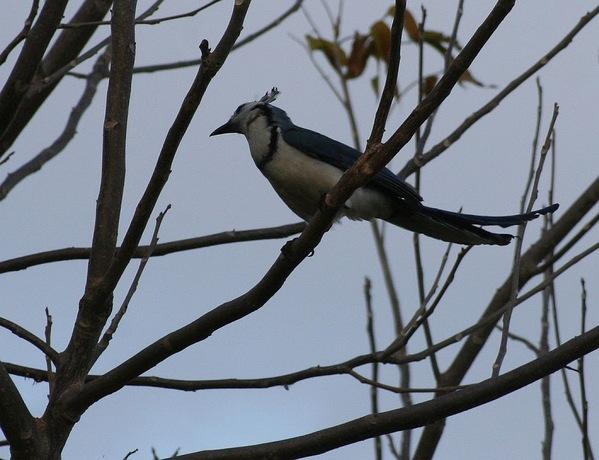 un oiseau à huppe;