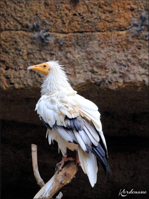Vautour Percnoptère (Zoo de Doué la Fontaine)