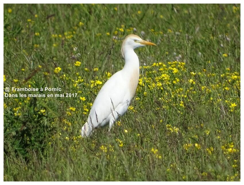 Dans le marais mai 2017 - Héron piqueboeufs
