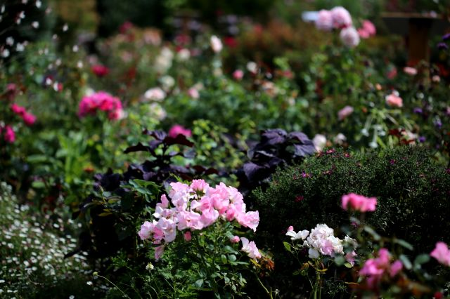 Des Compagnes pour mes Roses : Perilla frutescens