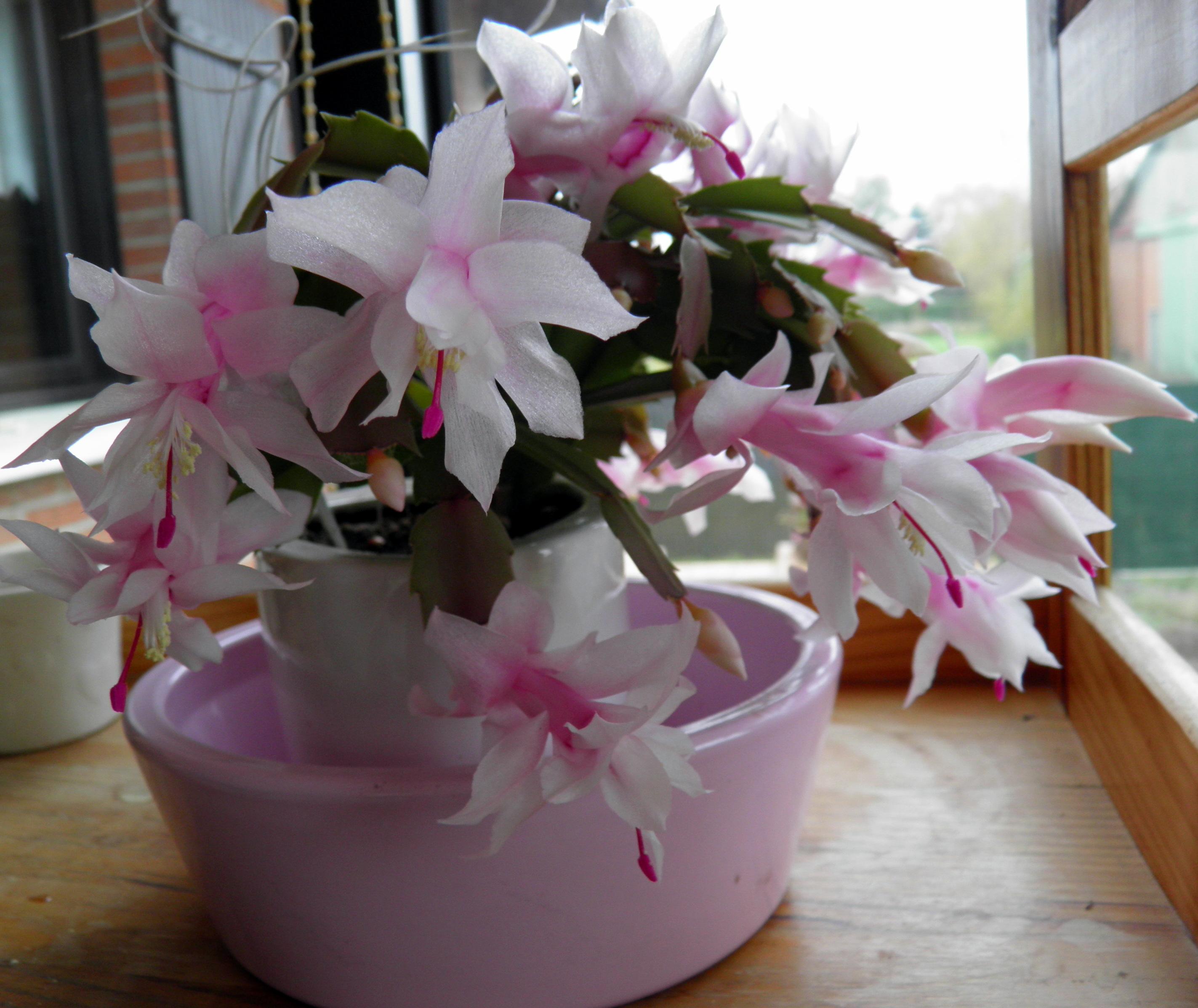 mon cactus de noël - beewell