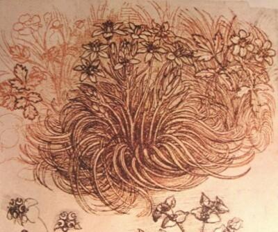 Leonardo botanical study