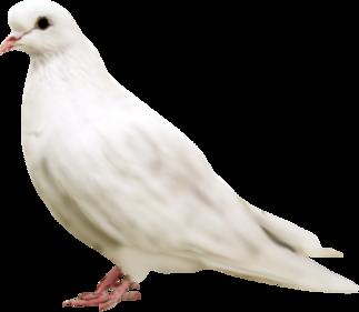 Oiseaux,colombe